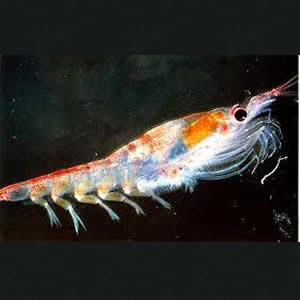 Thrill of Krill Oil