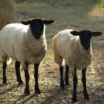 Vaccinated Sheep Contract Chronic Neurological Syndrome